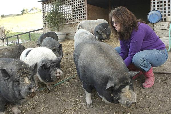 Выращивание вьетнамских свиней на мясо в цифрах