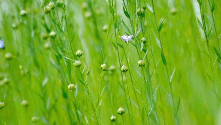 Бизнес на выращивании льна: основные моменты